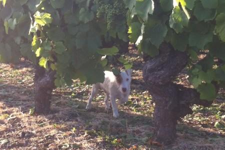 Vigne et chien